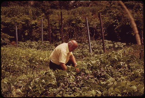 man surrounded by vegetable plants on boston urban farm, 1973